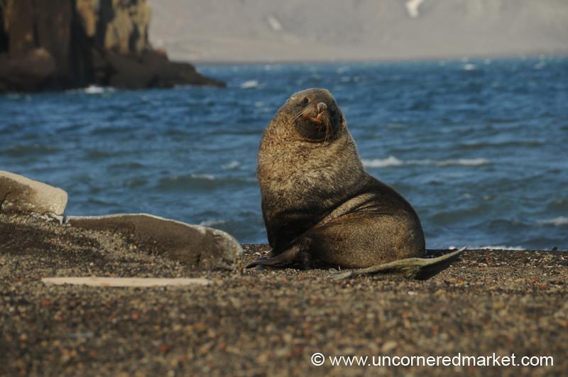 Sub-Adult Fur Seal - Deception Island, Antarctica