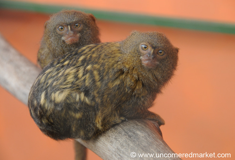 Pygmy Marmoset, Our New Favorite Animal - Guayaquil, Ecuador