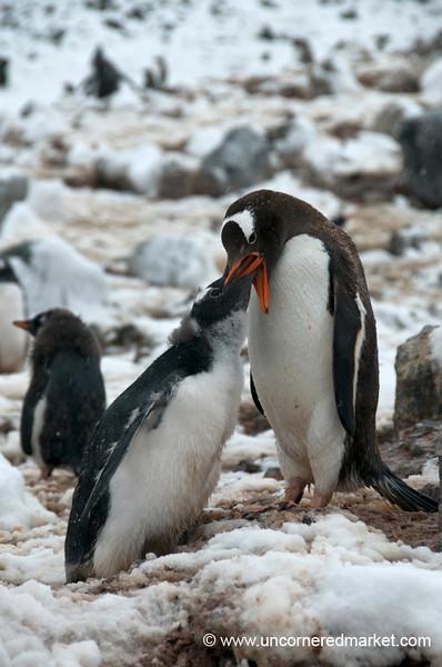 Penguin Feeding - Danko Island, Antarctica