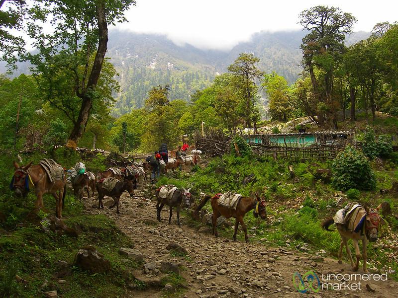 Mule Trains Along the Annapurna Circuit, Nepal