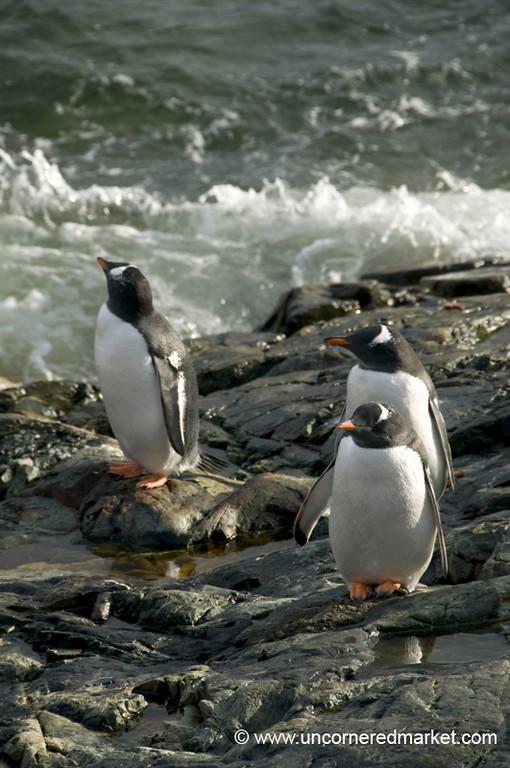 Gentoo Penguins Getting a Bit of Sun - Antarctica