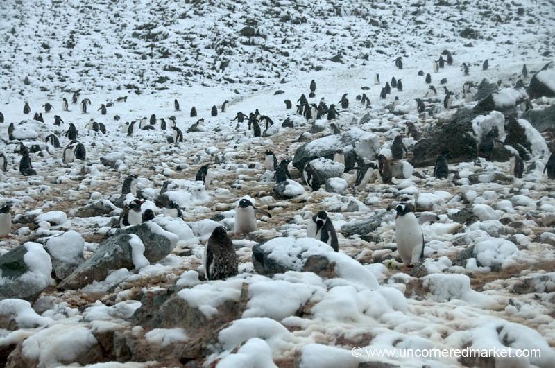 Penguin Rookery on Danco Island - Antarctica