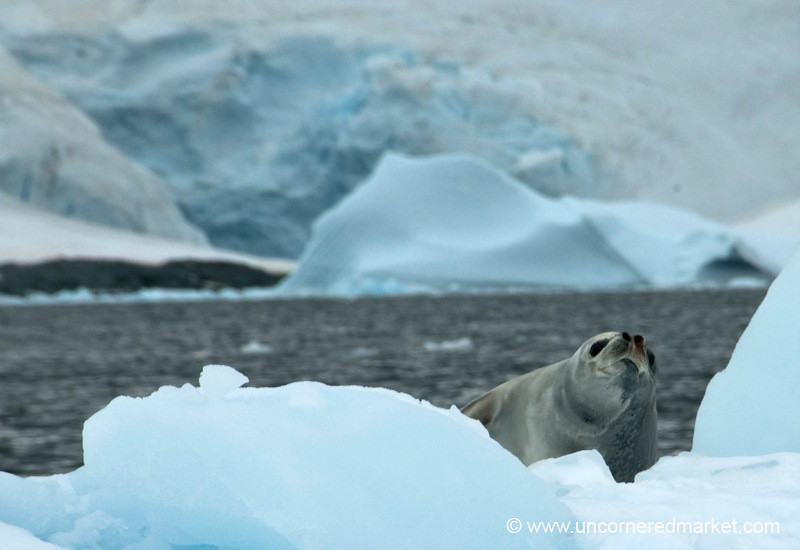 Leapord Seal on the Ice - Antarctica