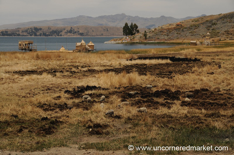 Grazing Sheep and Reed Houses - Lake Titicaca, Bolivia