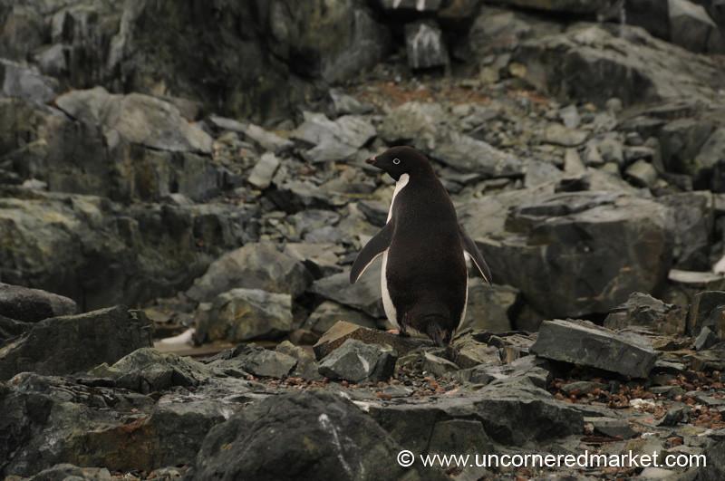 Adelie Penguin on Detaille Island - Antarctica