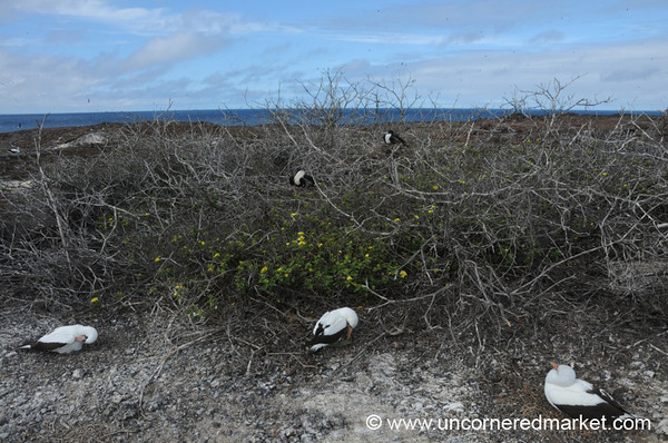 Boobies Everywhere - Galapagos Islands