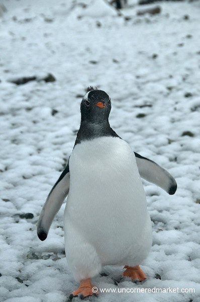 Gentoo Penguin Still a Bit Awkward - Antarctica