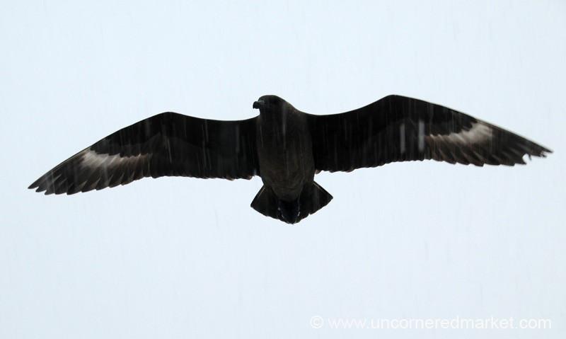 Giant Petrel Overhead - Antarctica