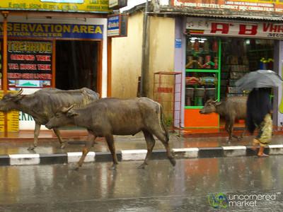 Water Buffalo and People Share the Streets - Pokhara, Nepal