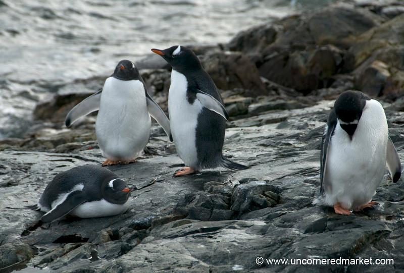 Gentoo Penguins by the Water - Antarctica