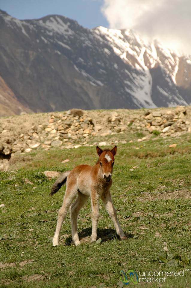 Baby Horse in the High Mountains - Annapurna Circuit, Nepal
