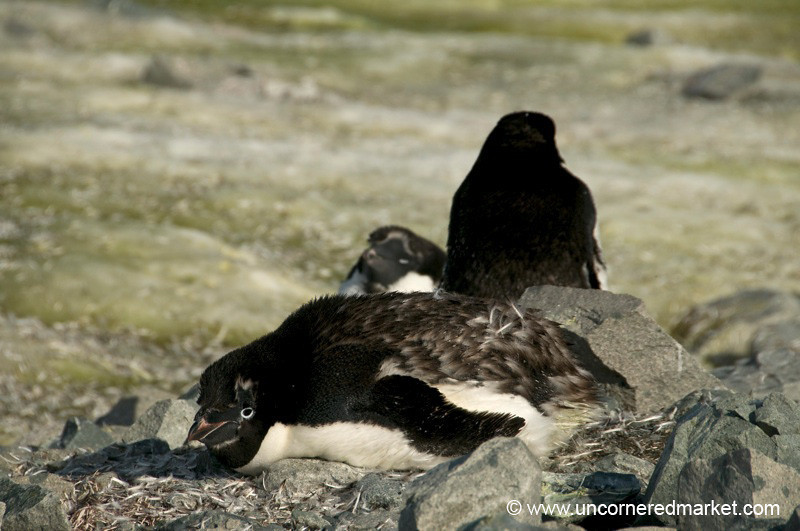Adelie Penguin Taking a Break - Antarctica