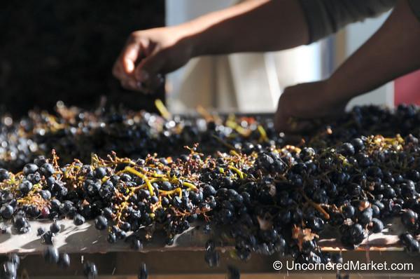 Hand Sorting Grapes in Patagonia, Argentina