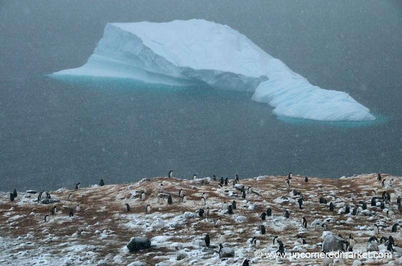 Gentoo Penguin Rookery in the Snow - Antarctica