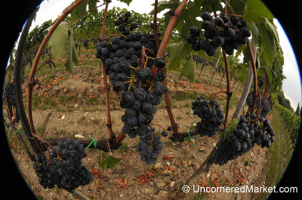 Fisheye View of Sangiovese Grapes - Montalcino, Italy