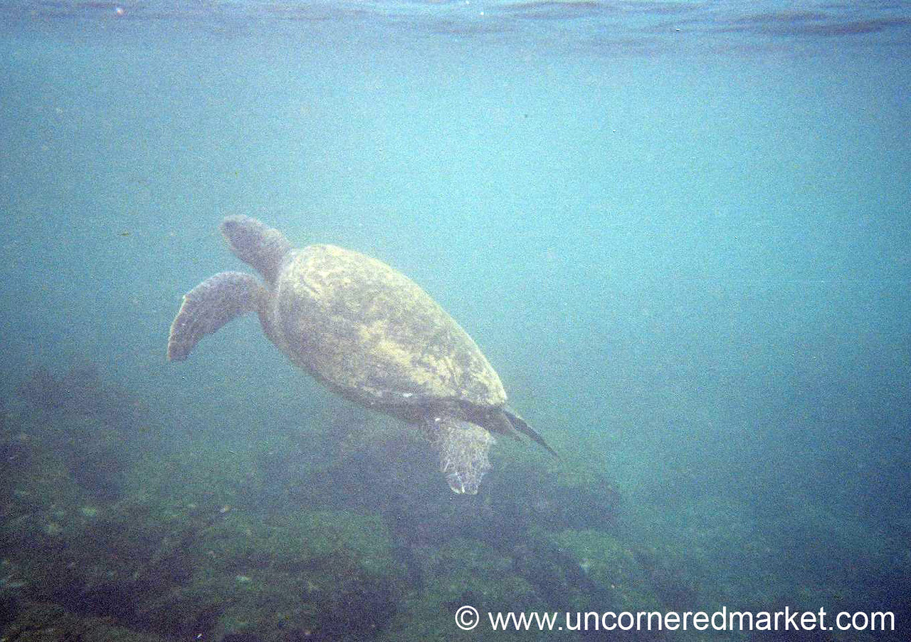 Following a Sea Turtle - Galapagos Islands