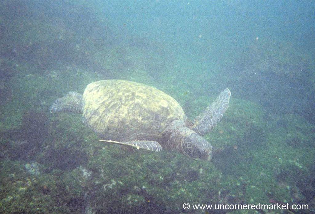 Sea Turtle Swimming Below - Galapagos Islands