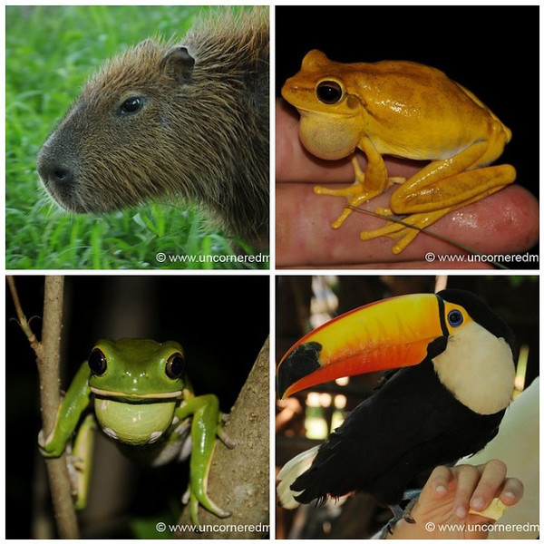 Capybara, Toucan and Frogs - Paraguayan Wildlife