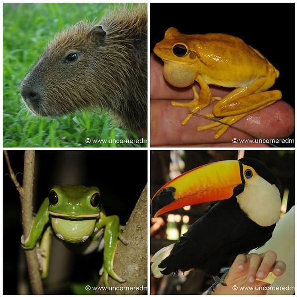 Capybara, Toucan and Frogs - Paraguayan Wildlife