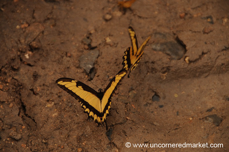 Frolicking Butterflies - Vallemi to Concepcion, Paraguay