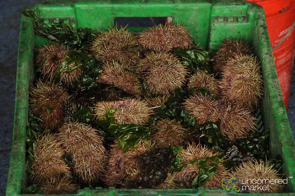 Crate of Sea Urchins - Castro, Chiloe Island (Chile)