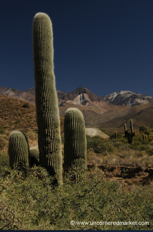 Cactus Landscape in Northern Argentina
