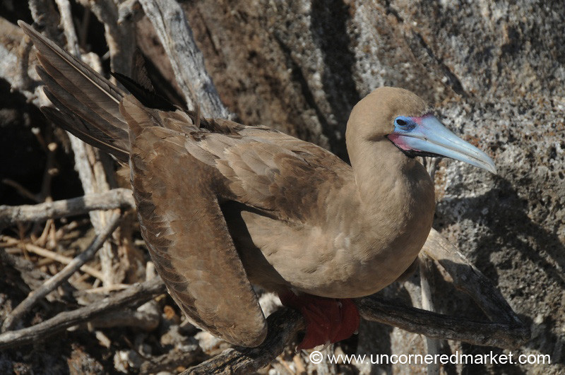 Rebecca the Red Footed Booby - Galapagos Islands