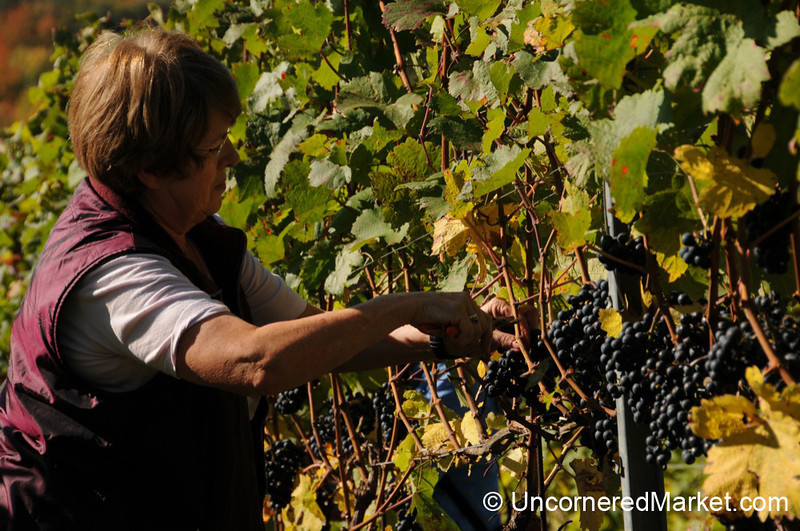 Careful Grape Cutting - Thüngersheim, Germany