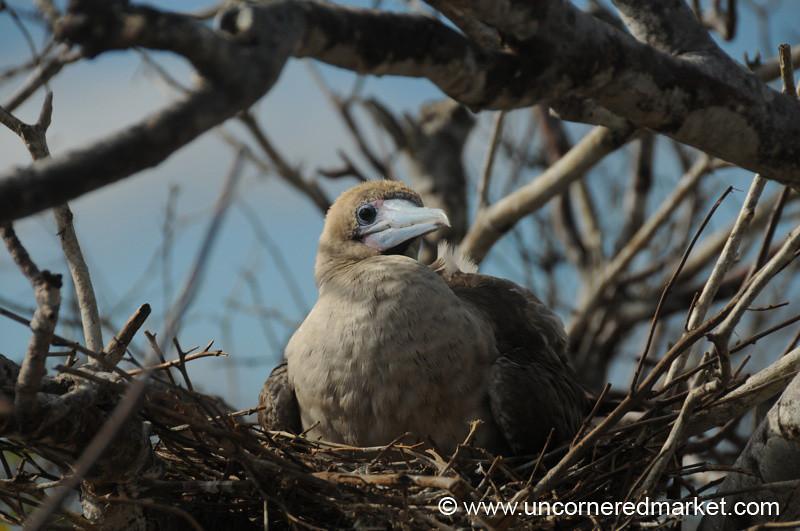 Nesting on Genovesa Island - Galapagos