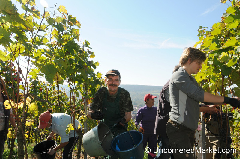 Collecting Full Baskets of Grapes - Thüngersheim, Germany