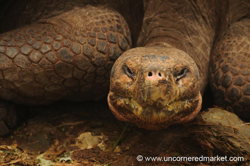 Giant Tortoise Bend - Galapagos Islands