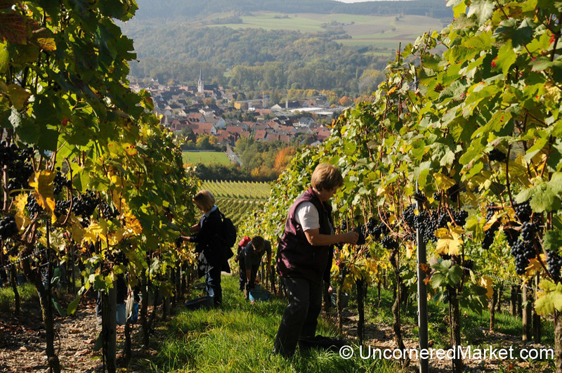 Picking Grapes on a Slope - Thüngersheim, Germany
