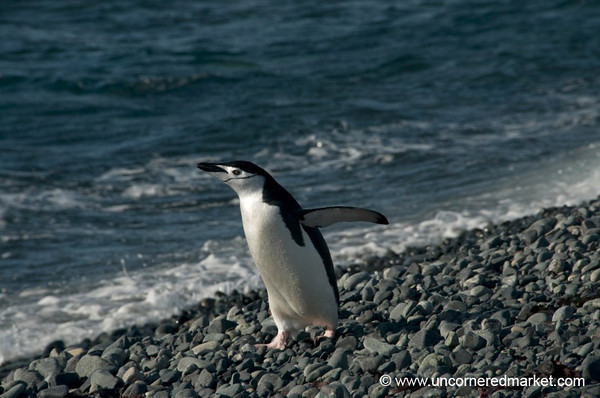 Chinstrap Penguin by the Water - Antarctica