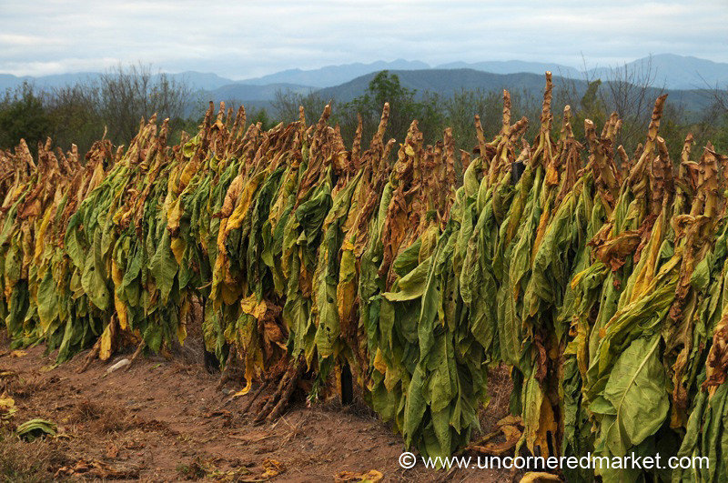 Tobacco Leaves Drying Outside Salta, Argentina