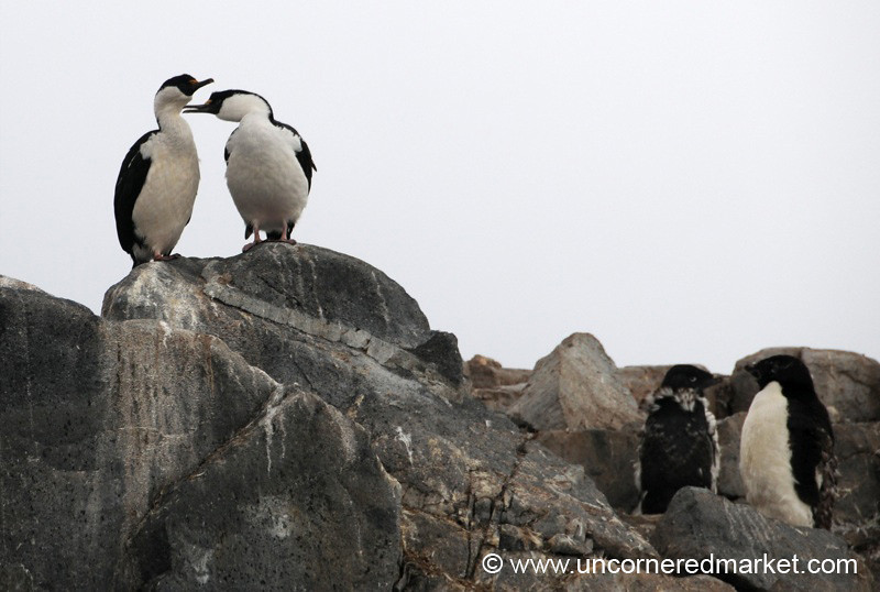 Cormorants and Penguin Pairs - Antarctica