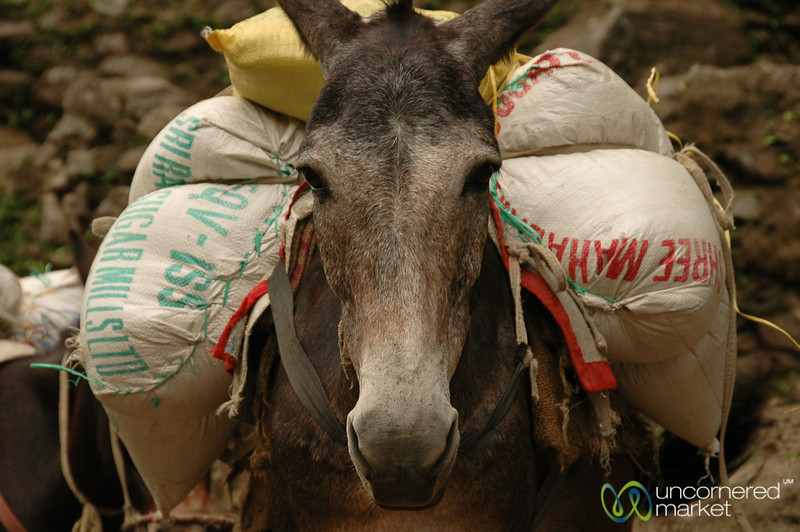 A Heavy Mule Load - Annapurna Circuit, Nepal