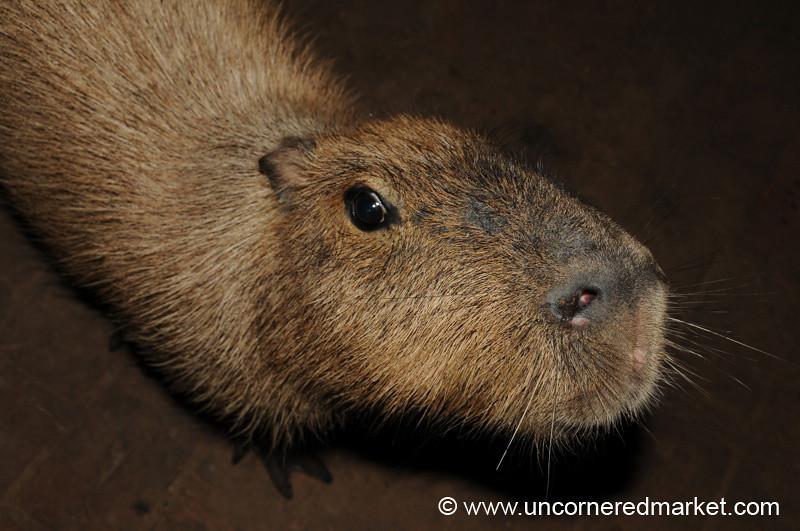 Getting Close With a Capybara - Concepcion, Paraguay