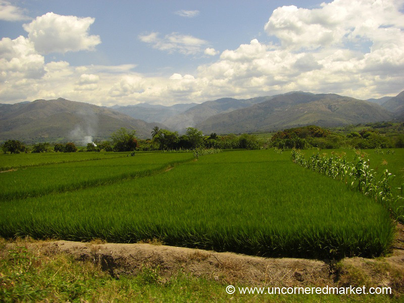 Growing Rice in Northern Peru
