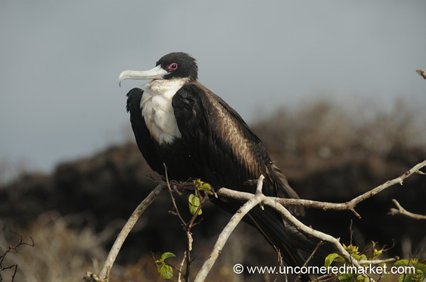 Magnificent Frigate - Galapagos Islands