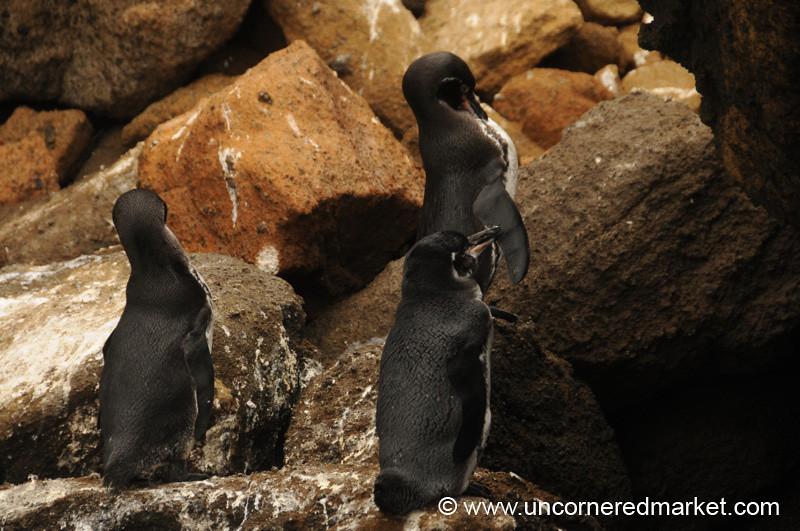 Shy Galapagos Penguins