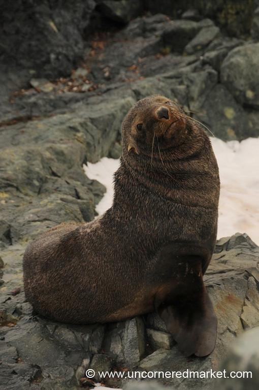 Posing for the Camera - Antarctica