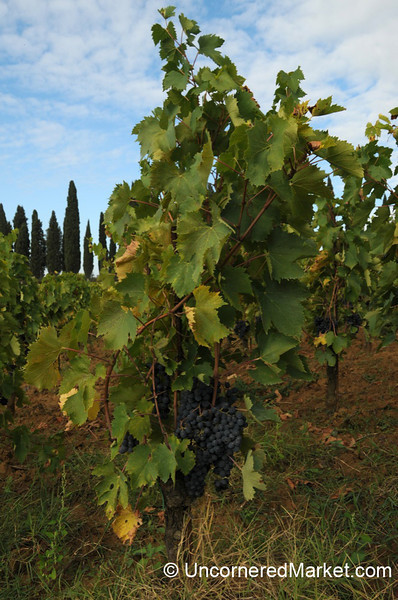 Growing Sangiovese Grapes - Montepulicano, Italy