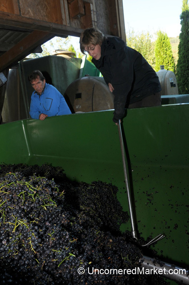 Processing All the Grapes - Thüngersheim, Germany