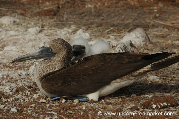 Motherly Love - Galapagos Islands