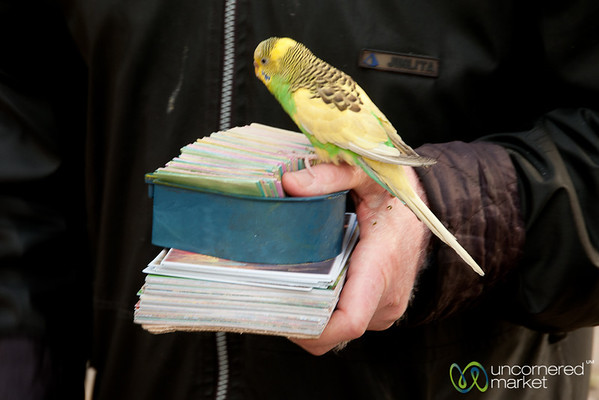 Bird Picking Fortune - Shiraz, Iran