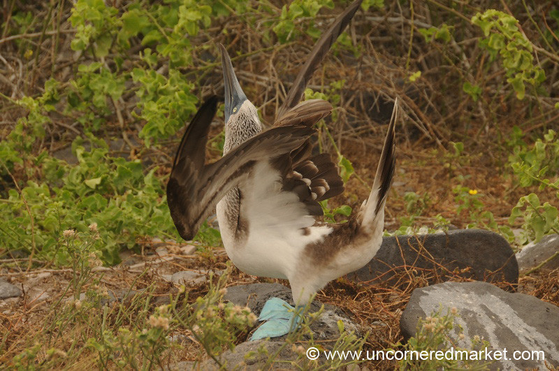 Booby Dance Moves - Galapagos Islands