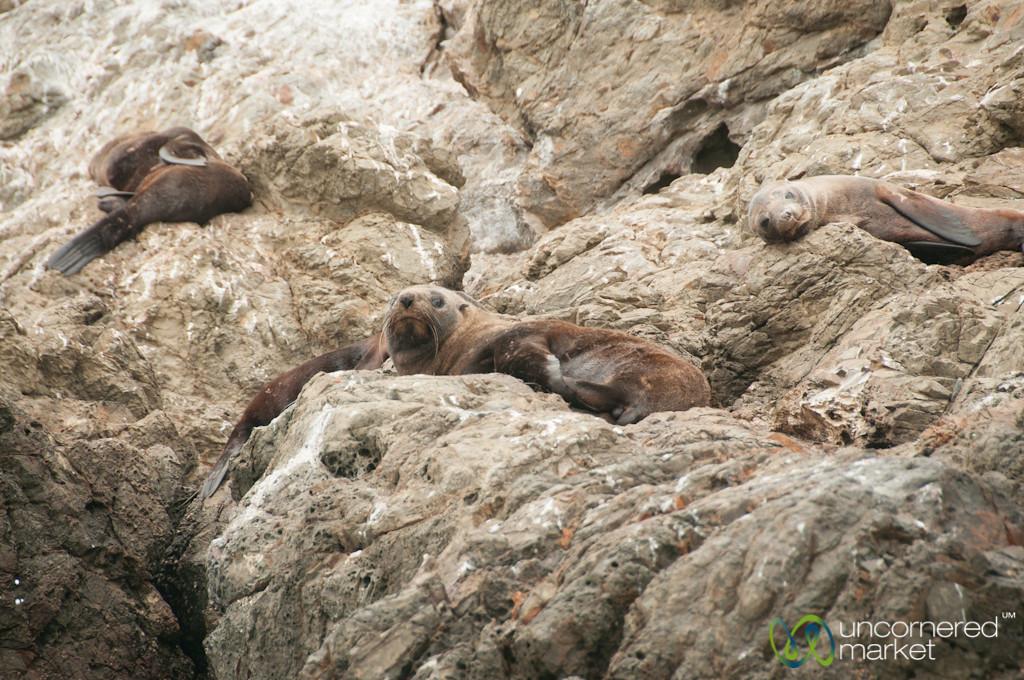 Fur Seals Near Kaikoura, New Zealand