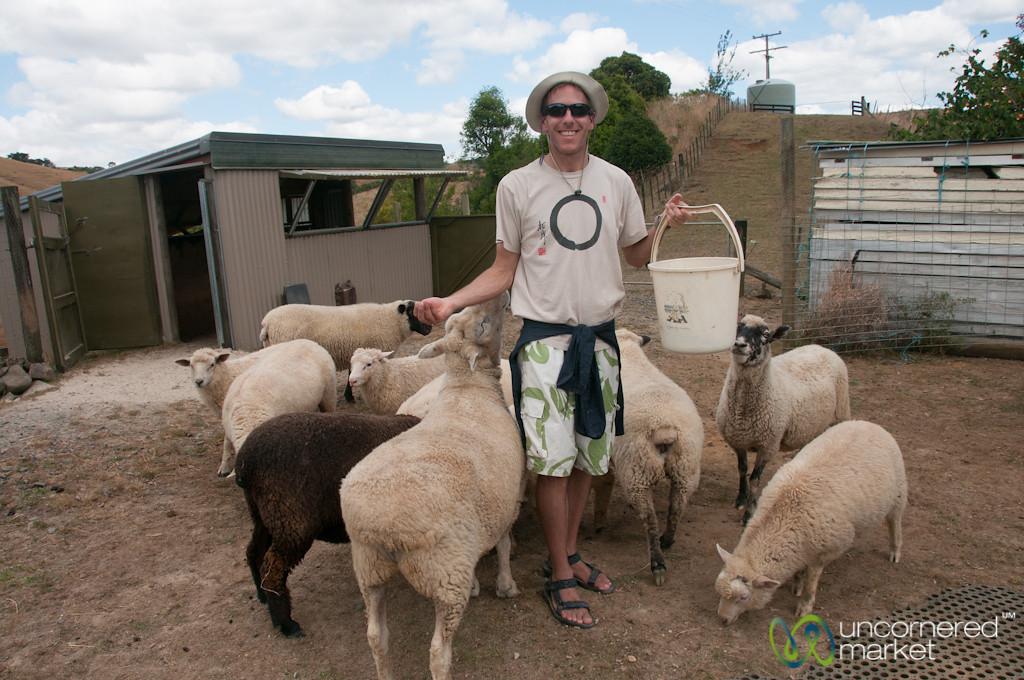 Dan Feeds the Sheep - Raglan, New Zealand