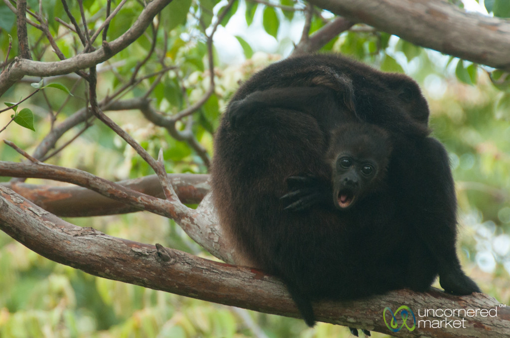 Yawning Baby Howler Monkey - Morgan's Rock, Nicaragua