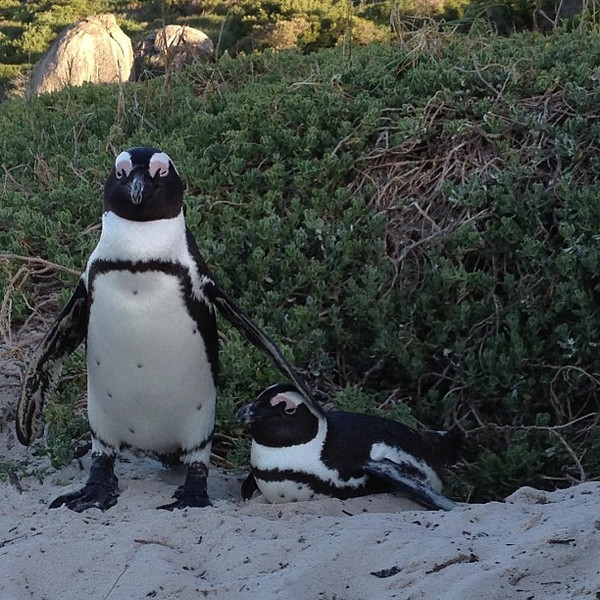 Penguins in Africa...who knew? #MeetSouthAfrica #adorable